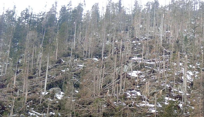 Windwürfe stellen in steilen Grabeneinhängen ein großes Gefahrenpotential dar: Wildholz, Verklausungen und Muren können die Folge sein