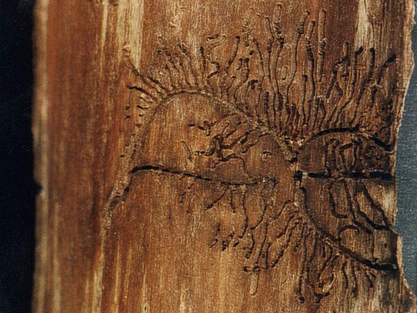 Schadbild vom Kupferstecher