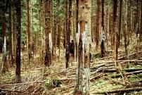 Schälschäden im Fichtenwald