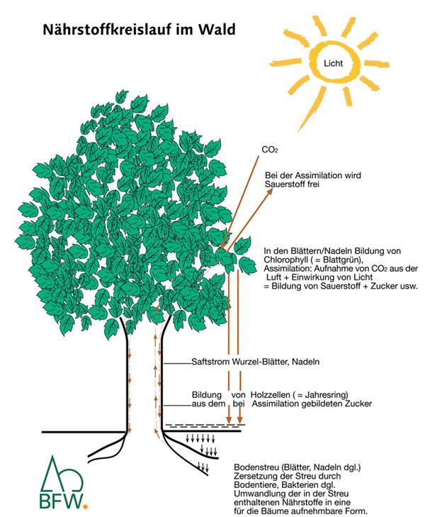 Nährstoffkreislauf © Bundesforschungszentrum für Wald