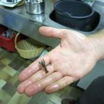 Der kleinste gefangene Signalkrebs.