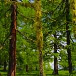 Lärchenwald Alm Frühsommer Gespensterbaum Flechten